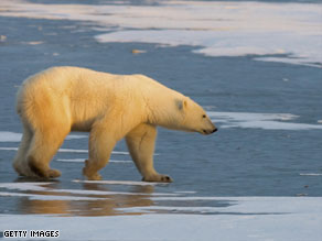 Climate change has impacted on the habitat of many animals, including the polar bear.
