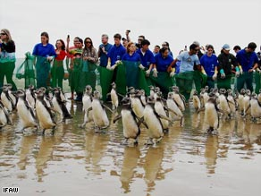 Almost 400 lost Magellanic penguins march back to the sea after being rescued by animal-welfare groups.