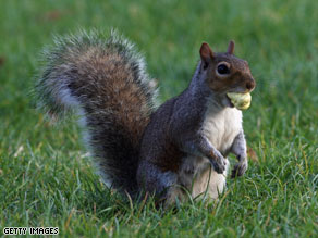Some scientists fear a mysterious shortage of acorns this fall in the eastern U.S. will affect squirrels.