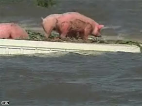 Pigs seek refuge from the floods on top of a farm building near Oakville, Illinois, on Wednesday.
