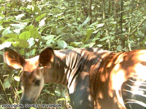 One of the first pictures of the elusive okapi was taken by camera trap.