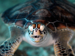 Green turtles are just one species that have been threatened by hunting.
