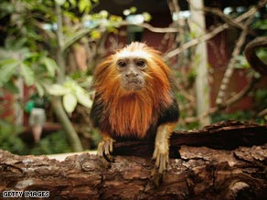 The golden-headed lion tamarin has been brought back from the edge of extinction.