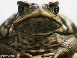 One of the world's most fearsome killers? Me? The heart-stoppingly infamous cane toad.