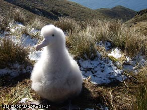 Idyllic Gough Island is an ideal home for both birds if it were not for the incomers.