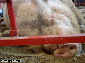 McCain visited this giant hog, 'Freight Train', while touring the Iowa State Fair Swine Barn.