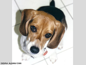 How could anyone not fall in love with Benny's big brown beagle eyes?