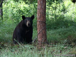 A young bear sits next to a pine tree after being snared by one of the traps set by researchers.