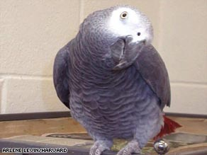 Alex, an African grey parrot, was one of 14 birds which displayed an ability to keep time with a tune.