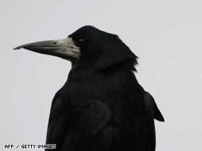 Smarter than the average bird brain: Rooks use tools to get food, a study has found.