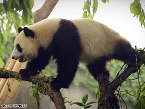 Giant pandas are more endangered than ever since the 2008 Sichuan earthquake.