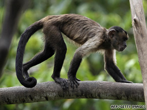 This capuchin monkey lives in the Amazon rain forest of northern Brazil.