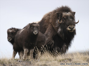 Musk ox in the Arctic check the spread of shrubs to the High Arctic, but promote grass growth.