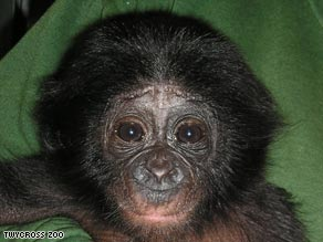 Bili the bonobo is to be fostered by an ape at Frankfurt Zoo.