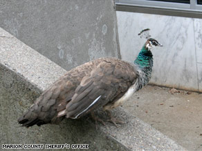 Cynthia the peahen patrols the grounds of the Marion County Sheriff's Department in Oregon.