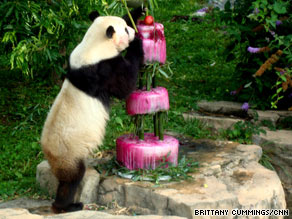 Giant panda Tai Shan digs into his special birthday cake of ice, beets, apples and pears.