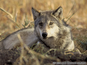 Gray wolves were taken off the endangered species list after their population rebounded.