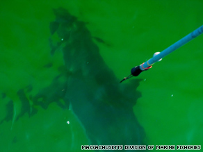 A great white shark is tagged Saturday off Cape Cod, Massachusetts. Shark sightings closed nearby beaches.