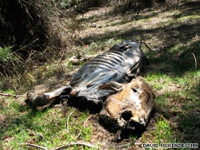 Peraguan Lesagut brought 200 cattle to Mount Kenya, but 160 have died from altitude, disease and starvation.
