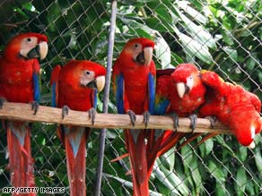 A family of Scarlet macaws in Costa Rica in June 2008 at a zoo aimed at conserving the species.