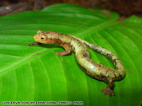 A new species of salamander was one of the exciting discoveries in Colombia's Darien region.