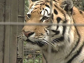 Two-year-old Vitali is normally one of the more laid back tigers, zoo officials said Monday.