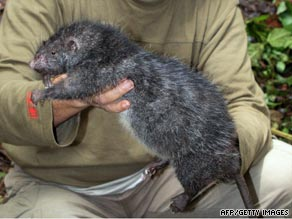 The newly discovered rat is similar in size and weight to this one found by scientists in 2007.