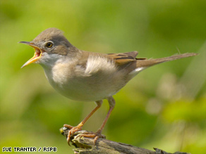 Long distance flyer: The migration of the Common Whitethroat could get even longer because of climate change.