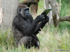 "London Zoo describes Yeboah as being a ""very charming, fun loving and intelligent gorilla."""