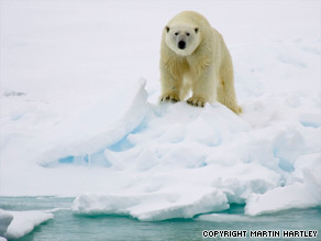 As the Arctic sea ice melts, polar bears face extinction.