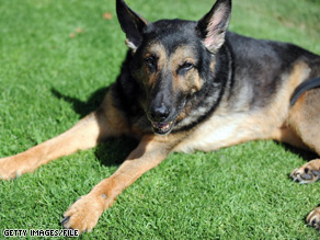 The Biden family got a German Shepherd, like the one pictured above, in December.