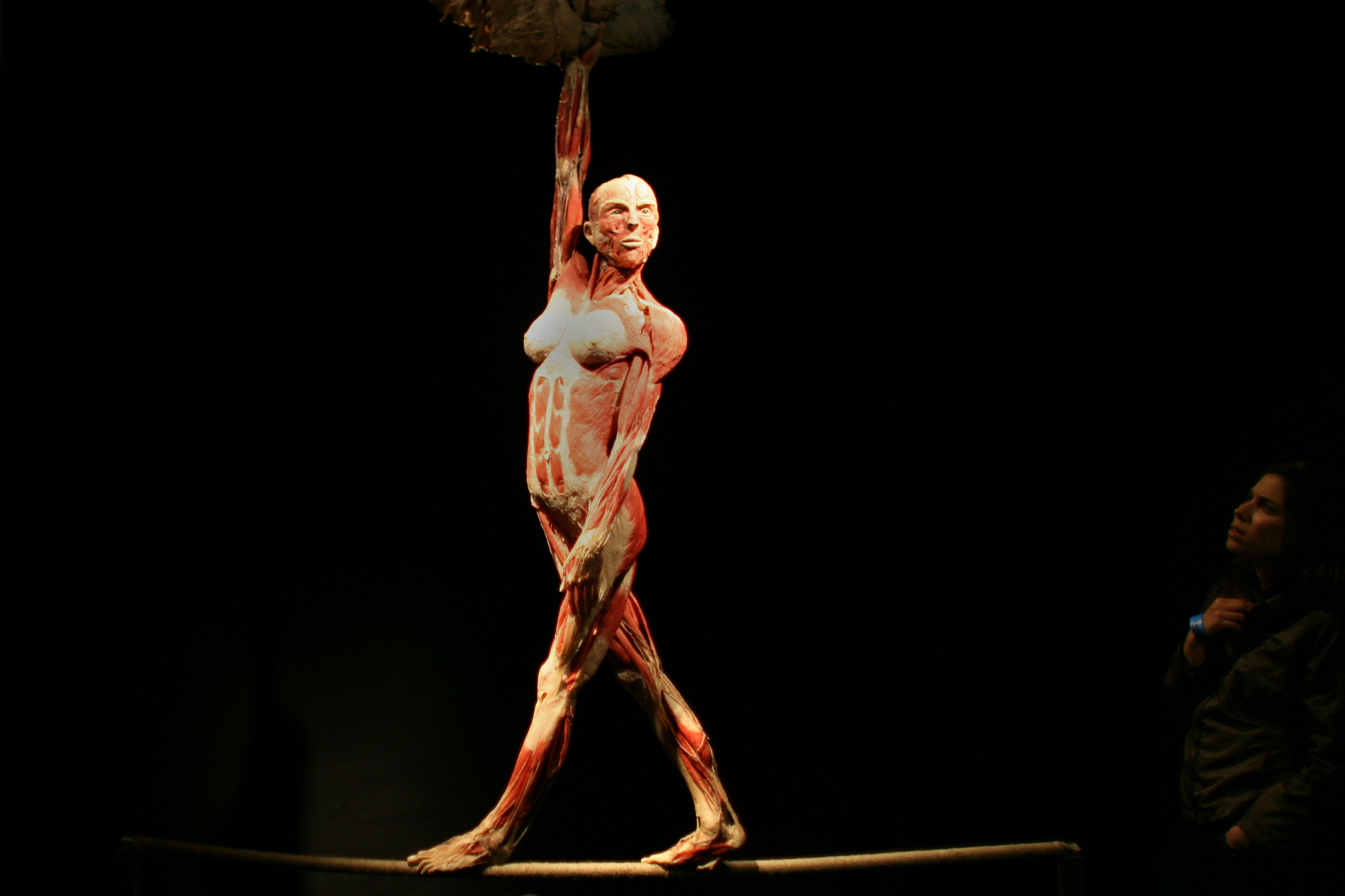 Uriel Sinai/Getty Images. A plastinated body is displayed at the 'Body Worlds' international exhibit April 6, 2009 in the northern Israeli city of Haifa .