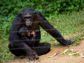 Much of the research performed by GVFI takes place in a Chimpanzee sanctuary in Cameroon.