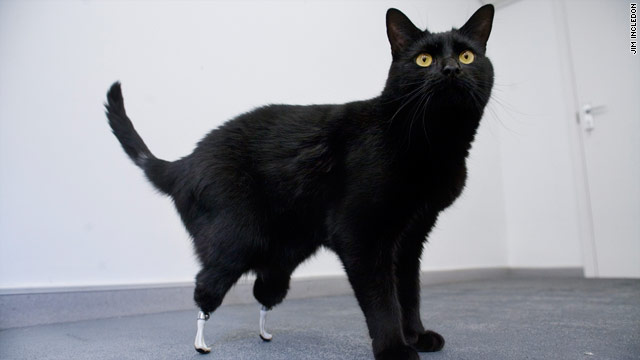 This cat, whose hind paws were accidentally severed, has been fitted with a new pair of artificial feet.