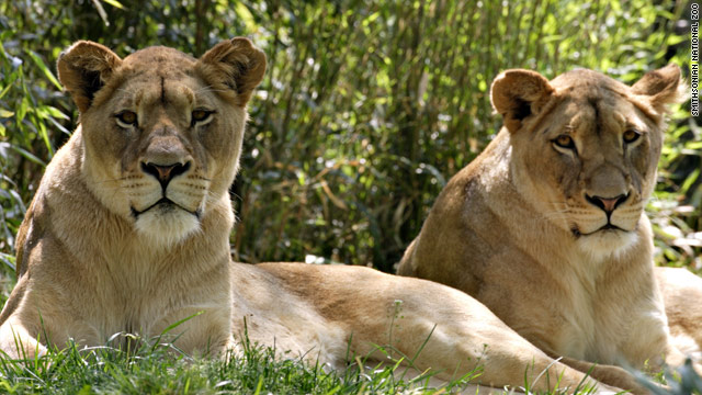 Lions, like females Shera and Naba at the National Zoo, work well together, like Apple says its system does with its products.
