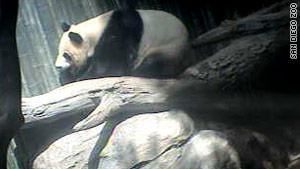 A panda glances up only for a moment during a mid-afternoon nap at the San Diego Zoo.