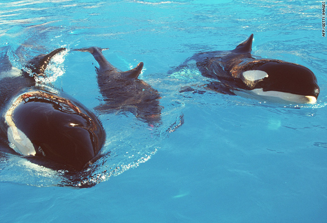 Incidents At Seaworld Parks: SeaWorld Trainer Killed By Killer Whale