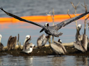 Brown pelicans sit behind an oil boom surrounding their island in Barataria Bay, Louisiana.