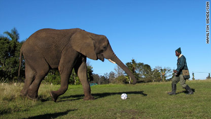 Namibia, one the players at the Knysna Elephant Park, is favorite to win this tackle.