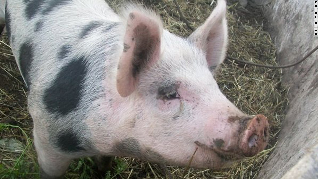 A day two pigs would die: ethical slaughter