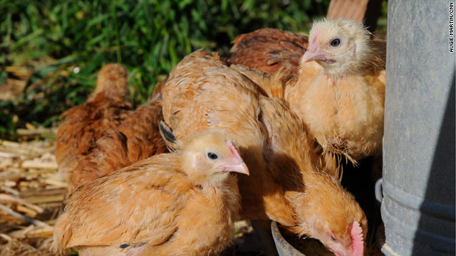 Backyard chicken farmers say egg harvesting is all it's cracked up to be