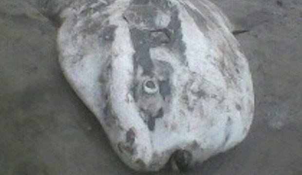 Ghana sunfish