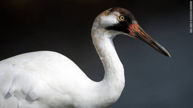 Endangered whooping cranes shot dead