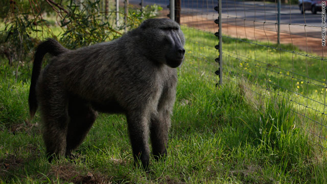 Baboons sniff out a better orange