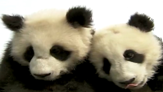 Gotta Watch: Pint-size pandas; Man vs. machine; Dying for life