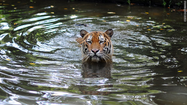 Woman rescues husband in tiger attack