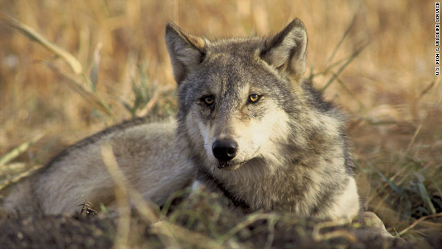 Montana governor authorizes wolf kills