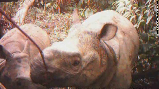 Video shows rare rhino calves in Indonesia