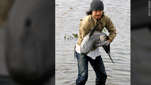 Tsunami-stranded porpoise rescued from rice paddy 1.2 miles from coast