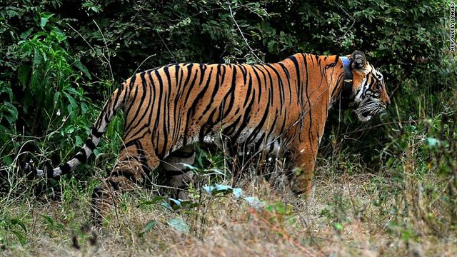 India's wild tiger population jumps 14%
